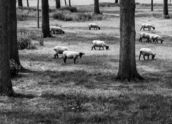 Flock Of Sheep Art Print