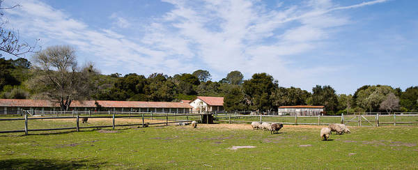 La Purisima Mission Photograph - Flock Of Sheep Grazing In A Farm by Panoramic Images