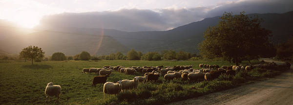 Peloponnese Photograph - Flock Of Sheep Grazing In A Field by Panoramic Images
