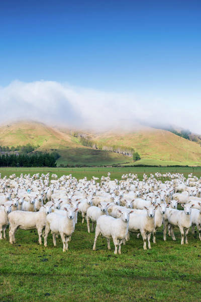 Photograph - Flock Of Sheep Looking, In A Pasture by Matteo Colombo