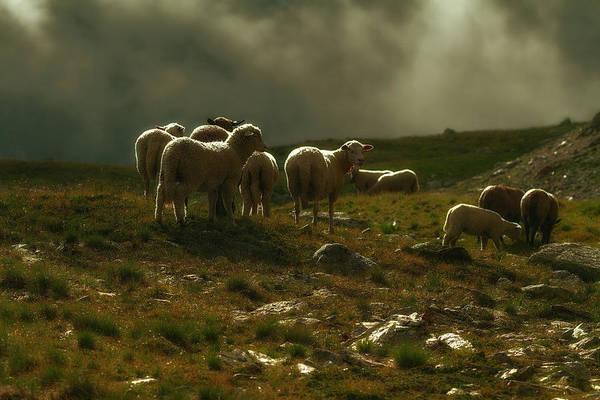 Photograph - Flock Of Sheep by Roberto Pagani