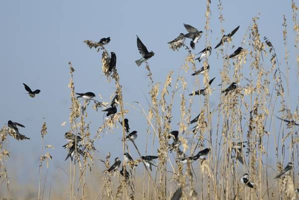 Photograph - Flock Of Tree Swallows On Sea Oats by Bradford Martin