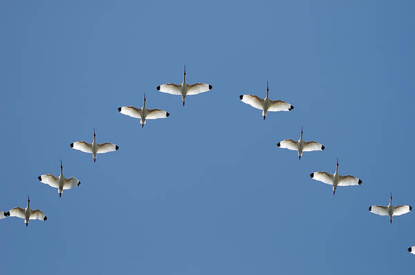 Photograph - Flock Of White Ibis by Bradford Martin