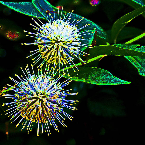 Photograph - Flora Fire Works by Joseph Coulombe