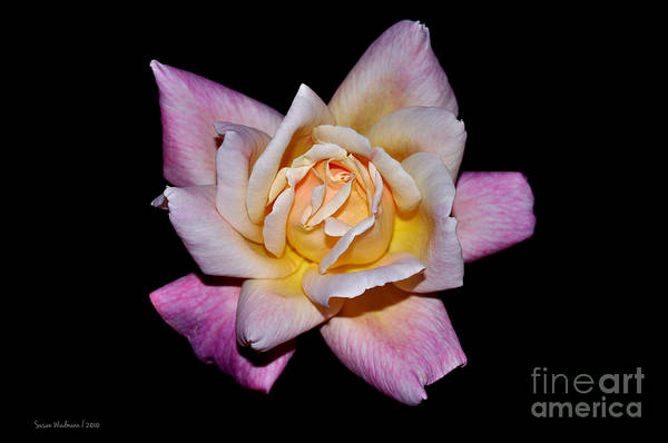 Photograph - Floribunda Rose In Full Bloom by Susan Wiedmann