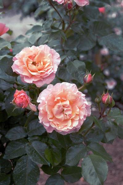 Wall Art - Photograph - Floribunda Rose (marie Curie) by Brian Gadsby/science Photo Library