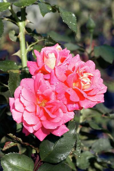 Rose In Bloom Photograph - Floribunda Rose (marlene Jobert) by Brian Gadsby/science Photo Library