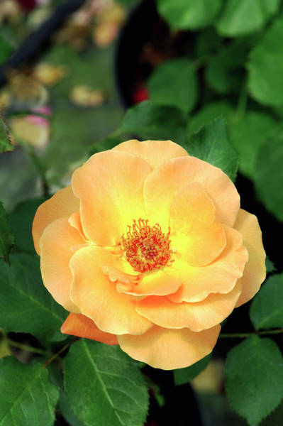 Peachy Wall Art - Photograph - Floribunda Rose (rosa 'new Year') by Brian Gadsby/science Photo Library