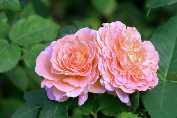 Trot Wall Art - Photograph - Floribunda Roses (rosa 'fox-trot') by Brian Gadsby/science Photo Library