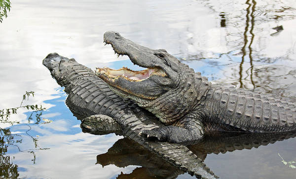 Photograph - Florida Alligators by Jean Clark