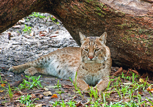 Photograph - Florida Bobcat by Donna Proctor
