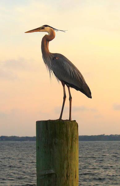 Florida Crane Art Print