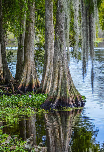 Wall Art - Photograph - Florida Cypress Trees by Carolyn Marshall
