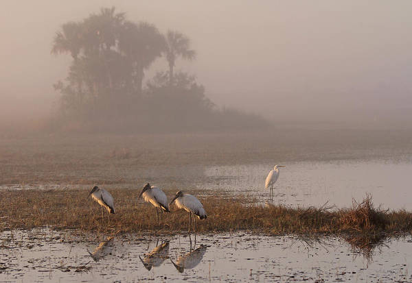 Photograph - Florida Everglades Wood Storks by Juergen Roth