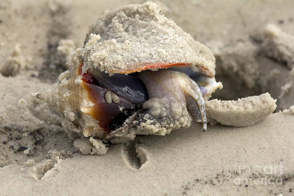 Photograph - Florida Fighting Conch by Meg Rousher