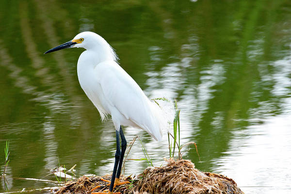 Night-heron Photograph - Florida, Immokalee, Snowy Egret Hunting by Bernard Friel