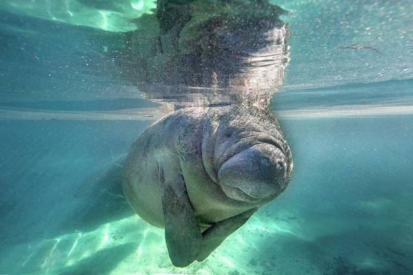Photograph - Florida Manatee by Ai Angel Gentel