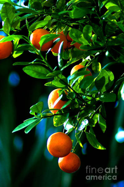 Photograph - Florida Oranges by Susanne Van Hulst