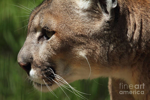 Photograph - Florida Panther Profile by Meg Rousher
