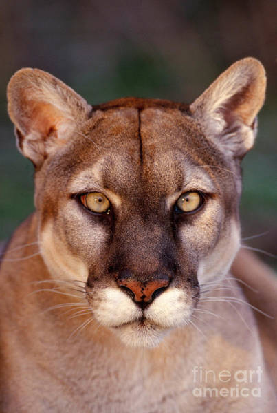 Catamount Photograph - Florida Panther by Tom and Pat Leeson