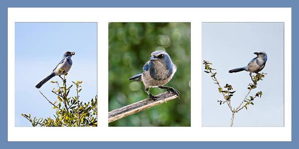 Photograph - Florida Scrub Jay Triptych by Dawn Currie