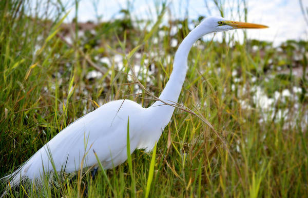 Photograph - Florida White Heron by Jody Lane