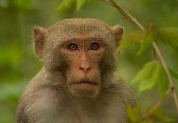 Photograph - American Feral Monkey by Doug McPherson