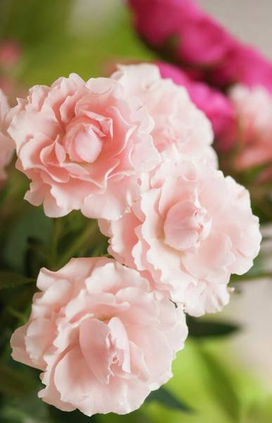January Photograph - Florists Soft Pink Spray Rose (rosa 'majolica') Flowers by Maria Mosolova/science Photo Library