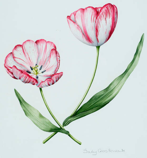Tulip Bloom Painting - Florists Tulip Mabel by Sally Crosthwaite