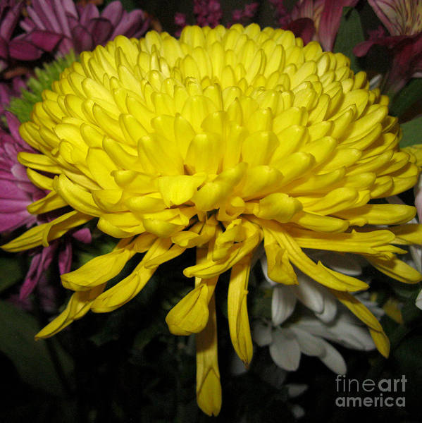 Yellow Queen. Beautiful Flowers Collection For Home Art Print