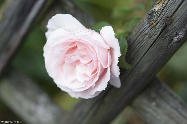 Photograph - Flower Among The Fence by Miguel Winterpacht