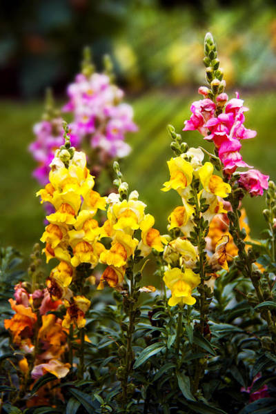 Photograph - Flower - Antirrhinum - Grace by Mike Savad
