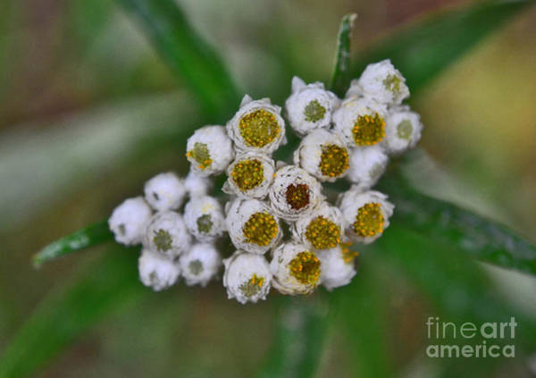 Photograph - Flower Buttons by Mae Wertz
