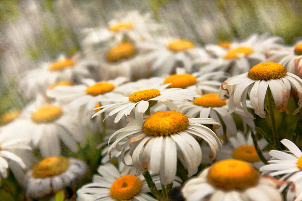 Photograph - Flower - Daisy - Not Quite Fresh As A Daisy by Mike Savad