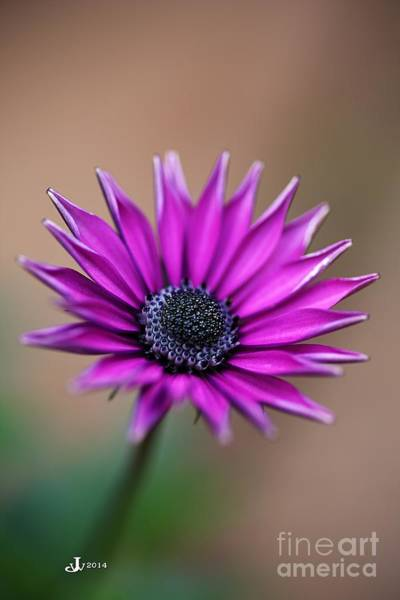Flower-daisy-purple Art Print