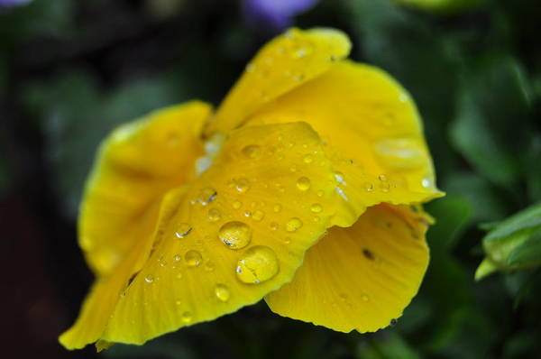 Photograph - Flower Droplets by Staci Bigelow