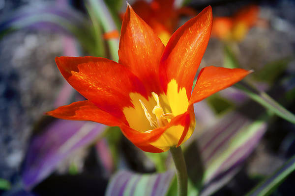 Photograph - Flower Flames by Milena Ilieva