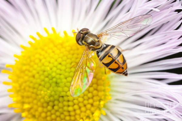 Photograph - Flower Fly On Daisy Fleabane I by Clarence Holmes