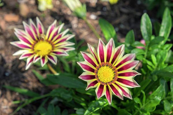 Asteraceae Photograph - Flower Garden, Ludlow, Vermont, Usa by Lisa S. Engelbrecht