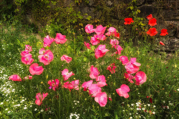 Photograph - Flower Garden With Pink And Red Poppies by Matthias Hauser