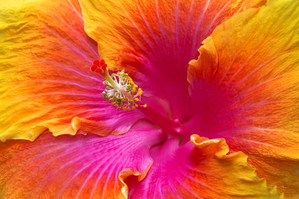 Photograph - Flower - Hibiscus Rosa-sinesis - Chinese Hibiscus - Appreciation by Mike Savad
