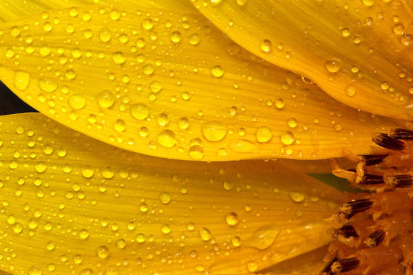 Photograph - Flower - It's Sunny But Raining by Mike Savad