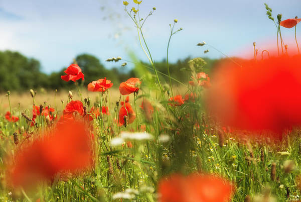 Photograph - Flower Meadow In Summer With Red Poppy by Matthias Hauser