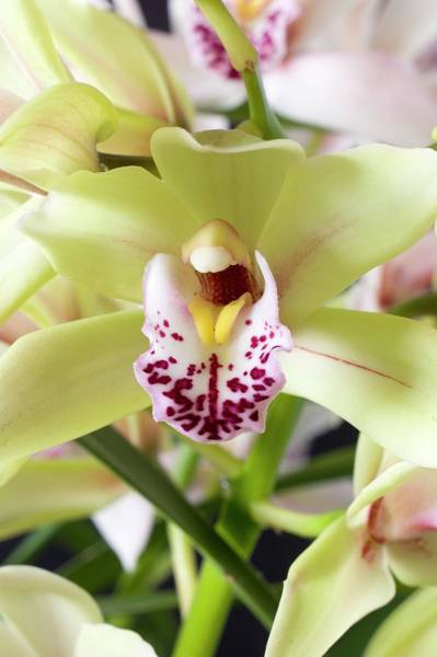 Cymbidium Photograph - Flower Of A Cymbidium Orchid by Dr Jeremy Burgess/science Photo Library