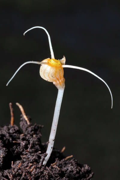 Subterranean Photograph - Flower Of An Amazonian Root Parasite by Dr Morley Read