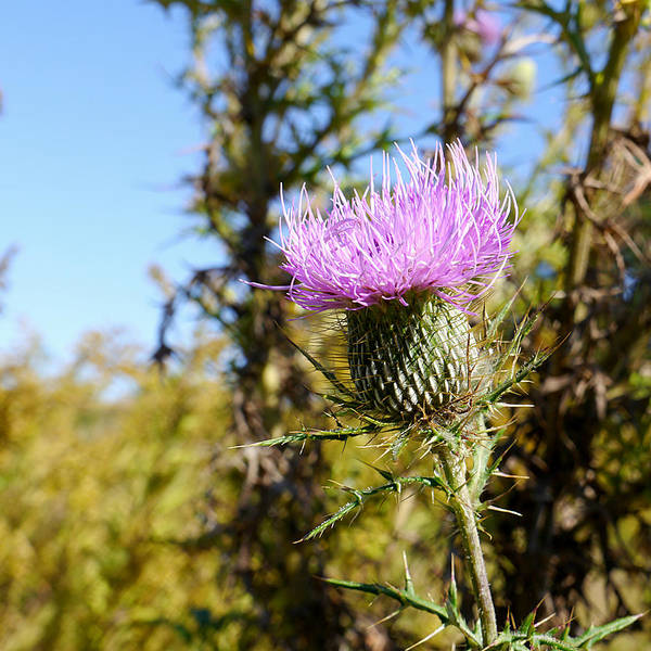 Photograph - Flower Of Scotland - Thistle II by Richard Reeve