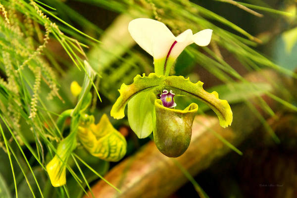 Photograph - Flower - Orchid - Paphiopedilum Insigne by Mike Savad