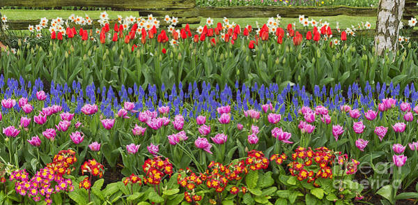Purple Tulip Photograph - Flower Panorama by Mark Kiver