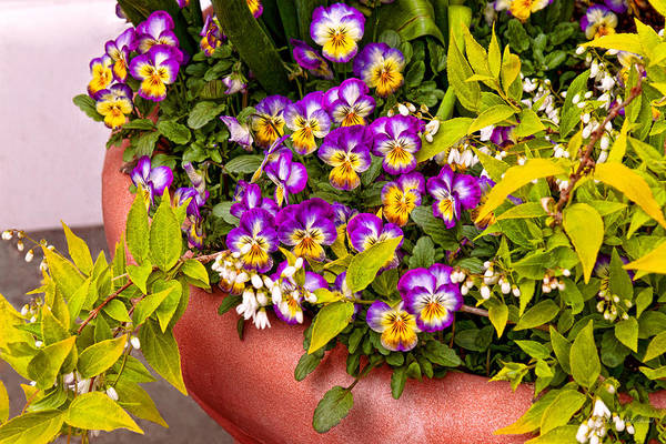 Photograph - Flower - Pansy - Purple Posies  by Mike Savad