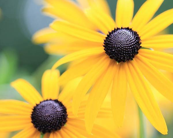 Photograph - Two Black Eyed Susans by Angela Murdock